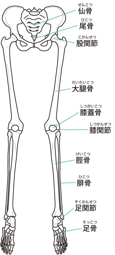 下肢の骨格イラスト