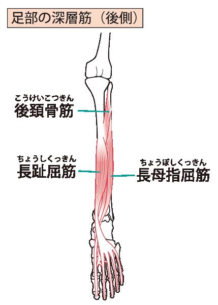 足部の深層筋イラスト